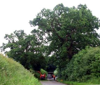 Warwick-oak-tree-pruning