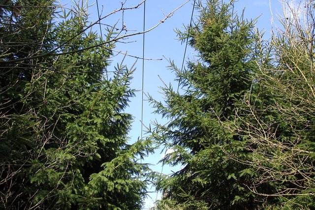 Conifer-plantation