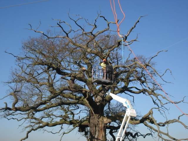 Veteran oak being pruned