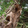 Coventry-project-rotting-tree-1